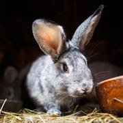 Cute rabbit popping out of a hutch (European Rabbit - Oryctolagu - stock photo