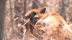 Elk - female - resting Stock Footage