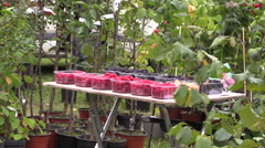Blackberries raspberries and plants sold in market Stock Footage