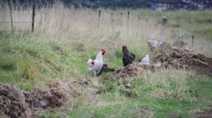 Close Up of A Flock of Chickens Pecking for Food Stock Footage