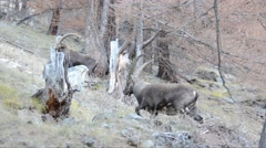 Ibexes  (Capra ibex) are walking in Gran Paradiso National Park Stock Footage