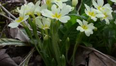 Primrose, common primrose, English primrose, Primula vulgaris, flower, Stock Footage