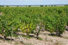 vineyard of Saint Julien Beychevelle - stock photo
