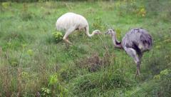 Farm - ostrich birds Stock Footage