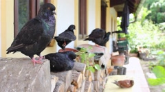Pigeon birds in front of the house in the countryside Stock Footage