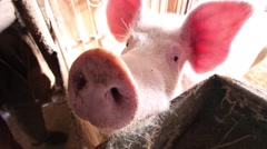 Curious pig in a small farm Stock Footage