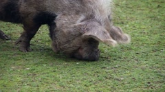 New Zeland pig searching food in the grass Stock Footage