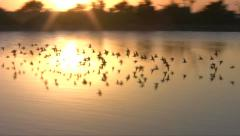 Small flock of birds flying in the sunset Stock Footage