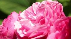 Beautiful pink rose Stock Footage