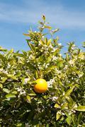 An Orange Tree in Full Spring Blossom Stock Photos