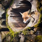 Red Fox (Vulpes vulpes) Stock Photos
