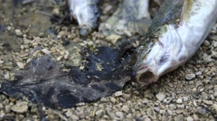 Dead fishes on a dry river with an insect Stock Footage