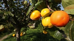 Khaki tree and fruit under the sun Stock Footage