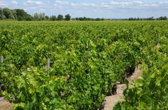 Vineyard of Saint Julien Beychevelle Stock Photos