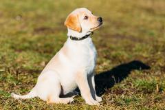 Beautiful White Dog Lab Labrador Retriever Pup Puppy Whelp Stock Photos