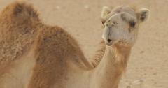 Camels near Nouakchott, Mauritania (4K) Stock Footage