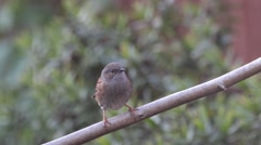 Dunnock perched on a tree branch Stock Footage