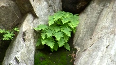 Placerita waterfalls ease-out small fern on rock by Stock Footage