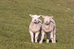Sweet and curious young lambs in the Netherlands - stock photo