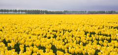 Enormous yellow field of Dutch tulips Stock Photos