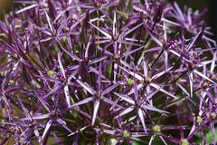 Closeup of a purple allium christophii - stock photo