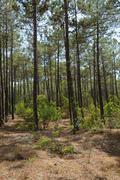 Stock Photo of France, maritime pines in La foret des Landes