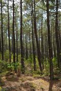 France, maritime pines in La foret des Landes - stock photo