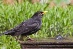 Drinking blackbird at a fountain in the garden Stock Photos