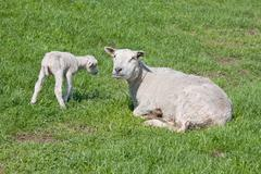 Sheep with her lamb - stock photo