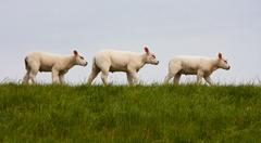 Parade of young lambs in succession Stock Photos