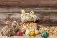 Young easter chicks in the nest - stock photo