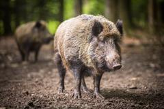 Wild boar (Sus scrofa) - stock photo
