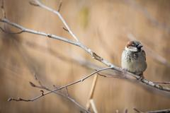 House Sparrow (Passer domesticus) - stock photo