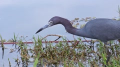 Little Blue Heron in the Everglades Stock Footage