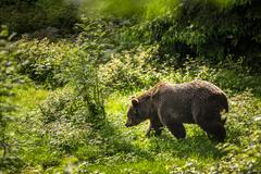 Brown bear (Ursus arctos) - stock photo