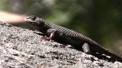 Western Fence Lizard whole body shot Stock Footage