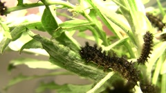 Chlosyne gabbii (Gabb's Checkerspot butterfly) larva crawling-eating Stock Footage