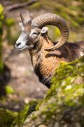 The mouflon (Ovis orientalis) Stock Photos