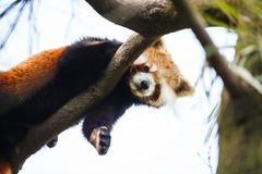 "Red panda (Ailurus fulgens, lit. ""shining cat"") - stock photo"