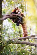 "Red panda (Ailurus fulgens, lit. ""shining cat"") Stock Photos"