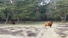Three Scottish Highland Cattles - stock footage
