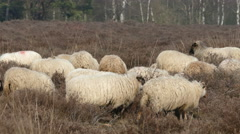 Sheeps on the Dutch heath Stock Footage