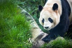 Giant panda (Ailuropoda melanoleuca) - stock photo