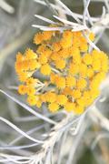 Close up of fresh achillea millefolium or common yarrow - stock photo