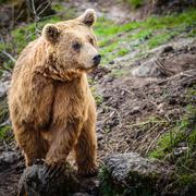 Brown Bear (Ursus arctos) Stock Photos