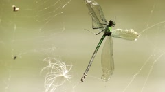 Dragonfly entangled in the cobweb swaying on the wind. Close up. River flowing. Stock Footage