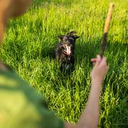 Walking the dog - throwing the stick to fetch to this eager comp - stock photo