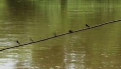 Flock of dragonflies standing on wire rope, then flying around and landing back. Stock Footage
