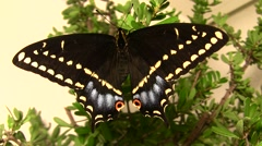 Indra swallowtail butterfly on plant close up Stock Footage