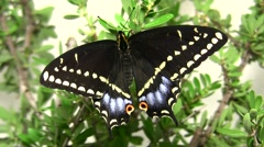 Indra swallowtail butterfly on plant close up zoom-out Stock Footage